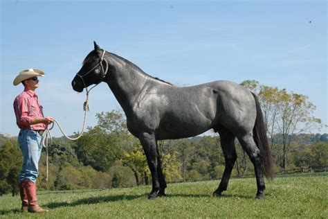 blue horses for sale in blue roan quarter horses