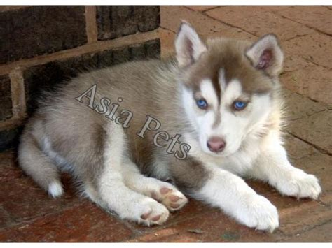 siberian husky puppy price boxer for sale in bangalore boxer hyderabad boxer gaddi annaram rani the