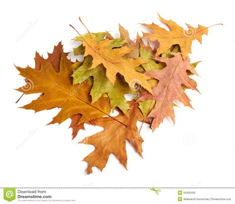 Heap Of Yellow Autumn Leaves Stock Photos Image 34429183 Fall Leaves On White Background