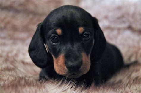 mini doxie puppies black and miniature dachshund puppies stunning market drayton shropshire