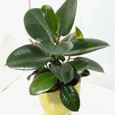 bonsai interieur jardiland ficus elastica robusta caoutchouc jardiland plantes