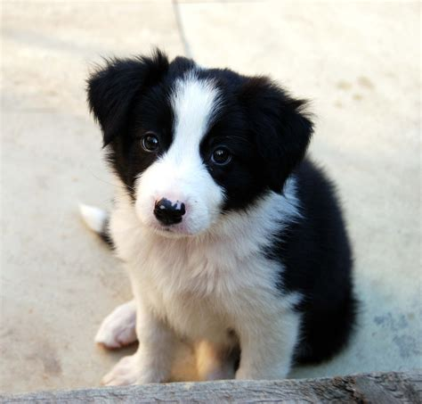 pictures of border collie puppies jess our border collie puppy sals r flickr