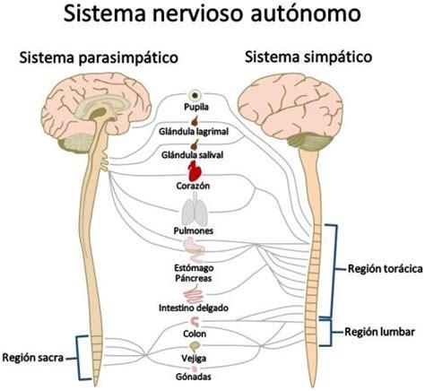 imagenes de neuronas sensoriales sistema nervioso perif 233 rico partes y funciones con im 225 genes
