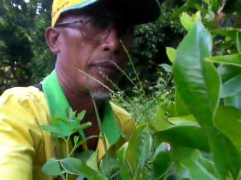 Harga Pupuk Organik Cair Herbafarm pemakaian herbafarm pd tanaman cengkeh 081288881226 doovi