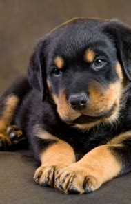 rottweiler dogtime rottweiler puppy www pixshark images galleries with a bite