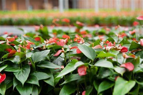 fiore anturium fiore anthurium piante appartamento caratteristiche