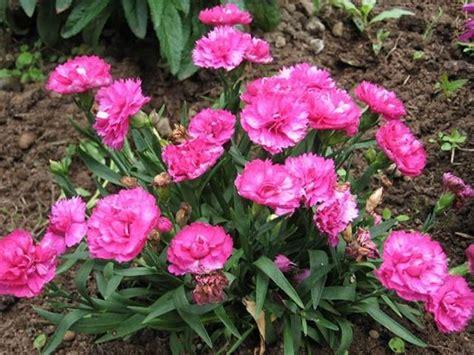 fiori garofani i garofani fiori in giardino