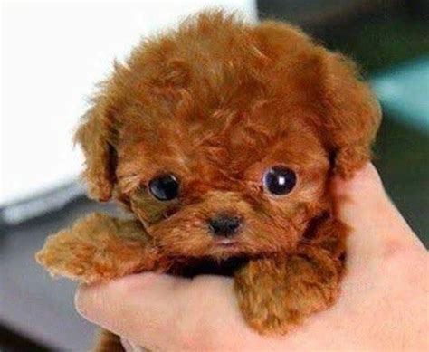 puppy in the world cutest puppy in the world www pixshark images