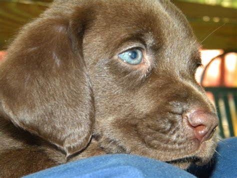 bassador puppies bassador puppy is a lab is a bassett