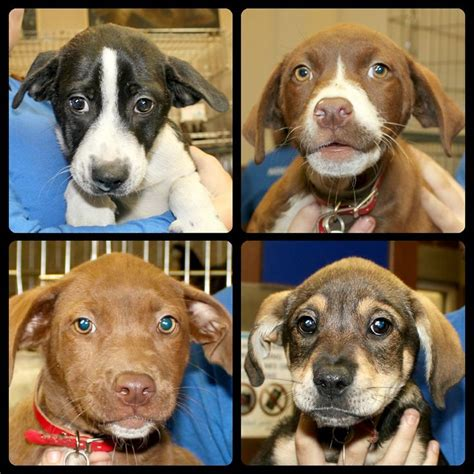 precious friends puppy rescue clarksville tn 17 best images about animal league rescues on adoption washington and