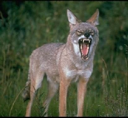 are coyotes dogs coyotes with dogs wildlife pro