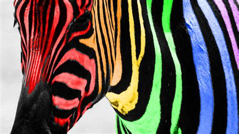 rainbow zebra color splash wallpaper mywallpapergalaxy