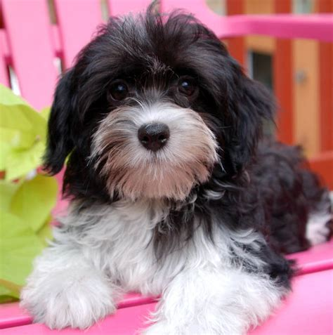 black and white havanese puppies for sale royal flush havanese dispells myths providing helpful tips for those considering