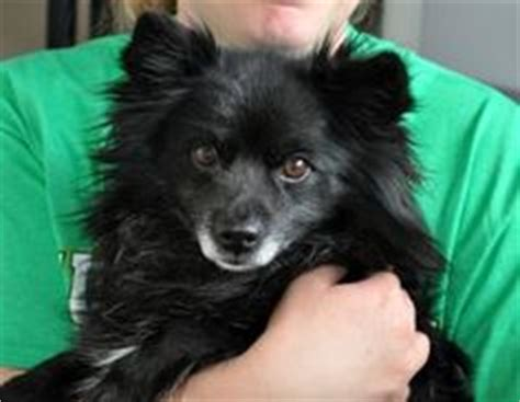 schipperke pomeranian mix my best friend other furballs on memes memes and dogs