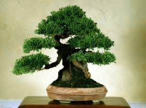 bonzi tree old bonsai tree wallpaper 3469 open walls