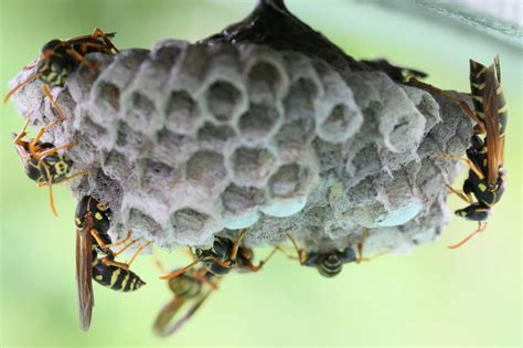Best Ways To Get Rid Of Wasps In Your House Total Pest Control
