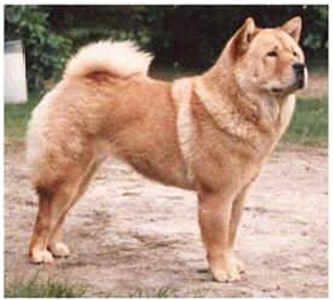 chow chow puppies for sale in nc smooth coat chow chow puppies for sale k k club 2017