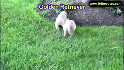 golden retriever puppies louisville ky golden retriever puppies dogs for sale in louisville kentucky ky 19breeders