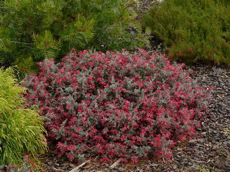 grevillea winter delight gardening  angus