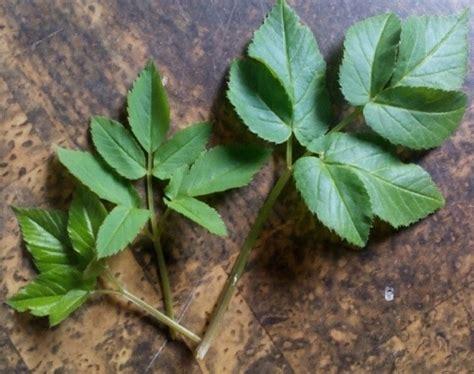 Detox Drinkullen 11 Biologische Planten by De 7 Wonderen Zevenblad Zevenblad Wilde Planten