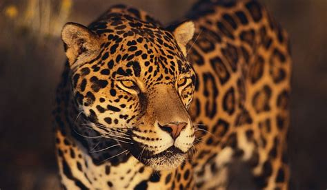 different types of jaguars what animals live in the rainforest