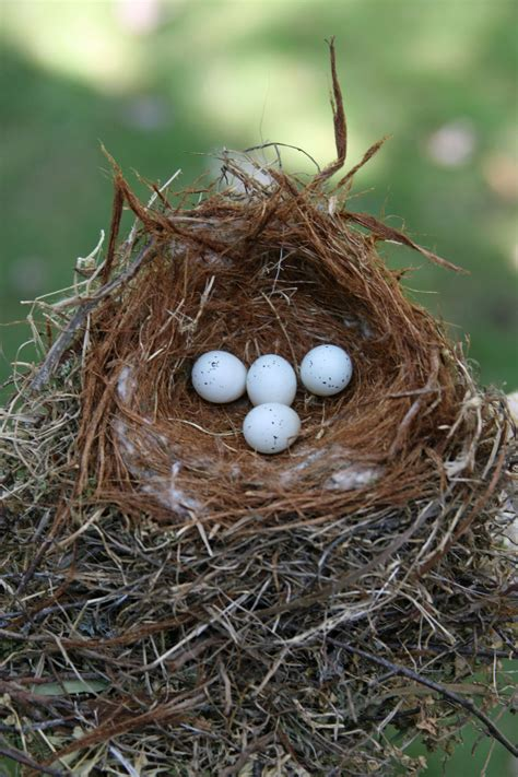 house finch eggs pictures picture of house finch eggs house pictures