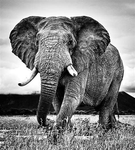 black and white elephant wallpaper elephant high resolution pictures black and white google