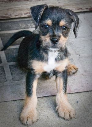 miniature pinscher mixed with shih tzu pin tzu miniature pinscher x shih tzu mix info temperament puppies pictures