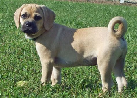 puggle golden retriever mix golden retriever beagle mix oh my cuteness how do it breeds picture