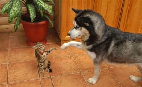 cat chases white wolf friendly husky wants to be friends with cat