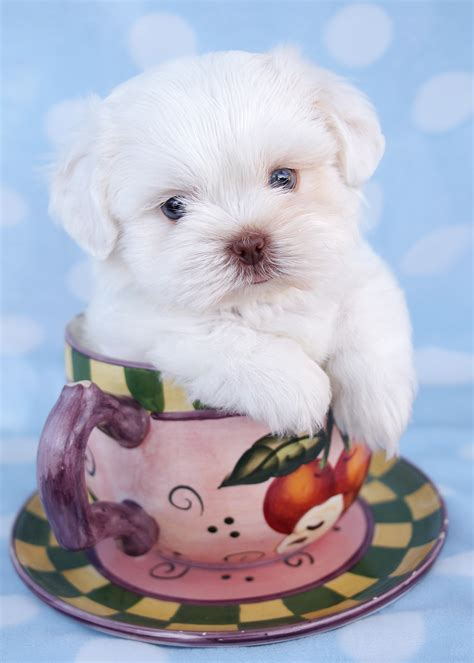 teacup puppies for sale in florida teacup maltese and maltese puppies for sale in south florida design bild