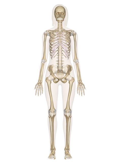 skeletal system skeletal system labeled diagrams of the human skeleton