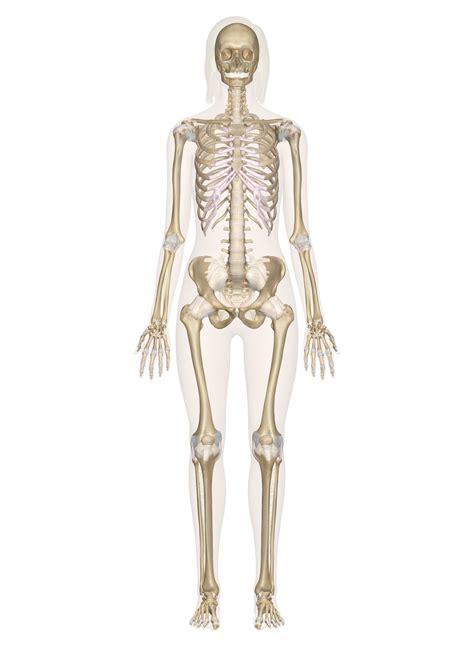 skeleton anatomy skeletal system labeled diagrams of the human skeleton