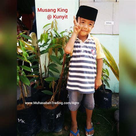 Benih Durian Musang King Untuk Dijual benih musang king muhasabahtrading dot