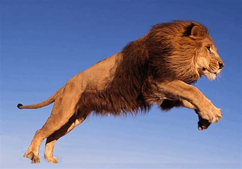 lion blumen lion turning into a tiger gif luvbat