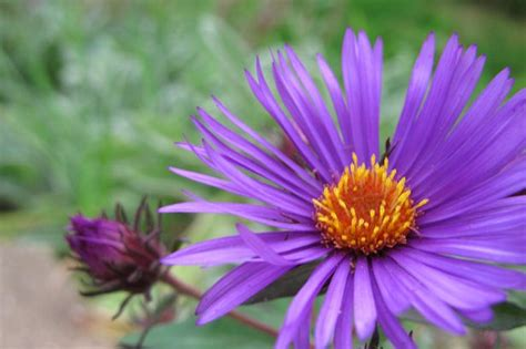 aster color pin aster coloring flowers cool pages pictures on