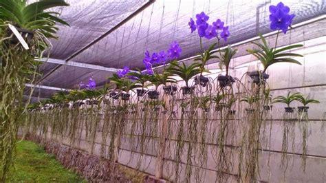 cara menanam dan merawat tanaman bunga anggrek di pot