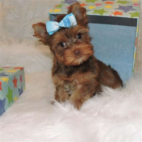 brown teacup yorkie chocolate teacup yorkie puppies chocolate yorkie puppy for sale candice teacup