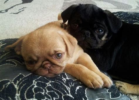 black pug puppy names 20 best pug in strange colors images on colors colour and color schemes