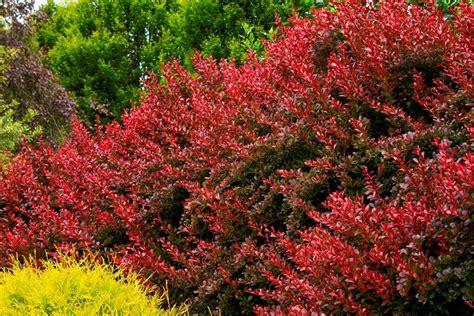 giardino ornamentale siepi ornamentali siepi siepi ornamentali per il giardino