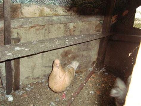 Vitamin Songvit vidio burung merpati trend burung