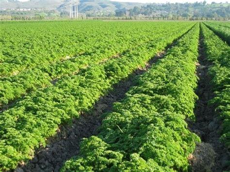 coltivazione in vaso prezzemolo coltivazione aromatiche come coltivare il