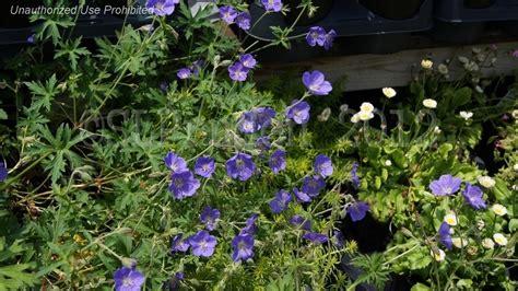 Gardens Dearborn by Plantfiles Pictures Hardy Geranium Cranesbill Brookside Geranium By Kevinmc79