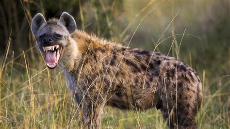 is a hyena a animal guide spotted hyena nature pbs