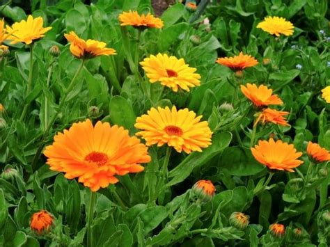 simboli dei fiori simbologia calendula officinalis significato dei fiori