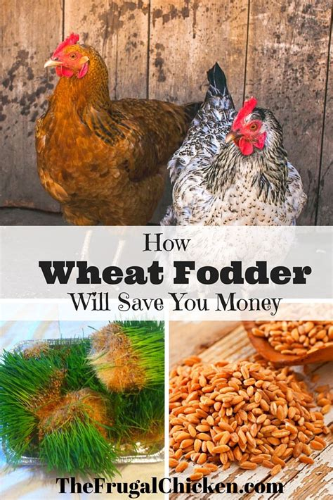 growing fodder for chickens means healthier hens