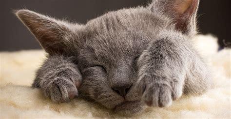 cutest cat breeds petfinder