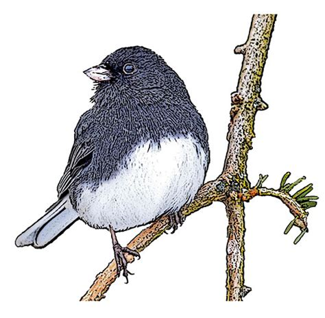 dark eyed junco national bird project canadian geographic