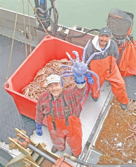 blue colored king crab in alaska the dispatch