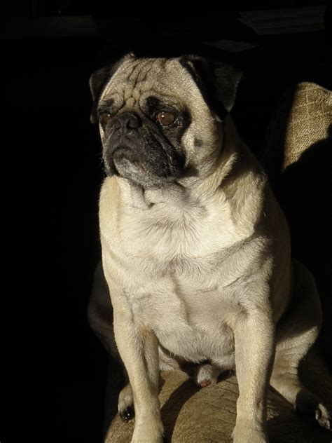 southwest idaho pug rescue pets for adoption at southwest idaho pug rescue in meridian id petfinder